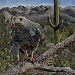 Rick Wheeler, Gray Hawk, scratchboard/watercolor, 16 x 20.