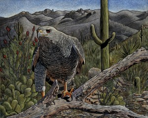 Rick Wheeler, Gray Hawk, scratchboard/watercolor, 16 x 20.