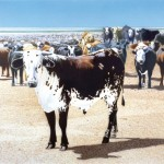 Don Coen, Foxley's Cattle, acrylic, 6 x 8 feet.