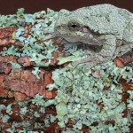 Grey Tree Frog on Lichen 2, acrylic, 8 x 10.