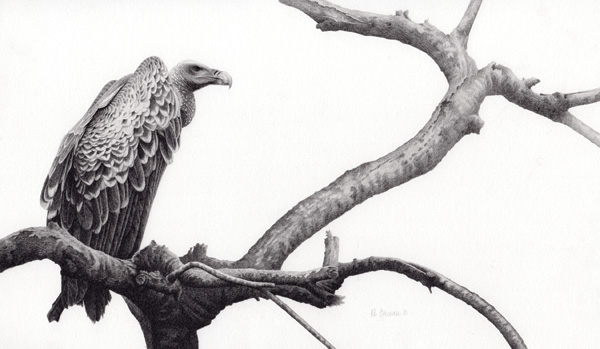 Robert Louis Caldwell, Custodian (Ruppell's vulture), graphite pencil, 10 x 17.