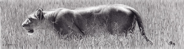 Robert Louis Caldwell, Margin (lioness), graphite pencil, 5 x 19.