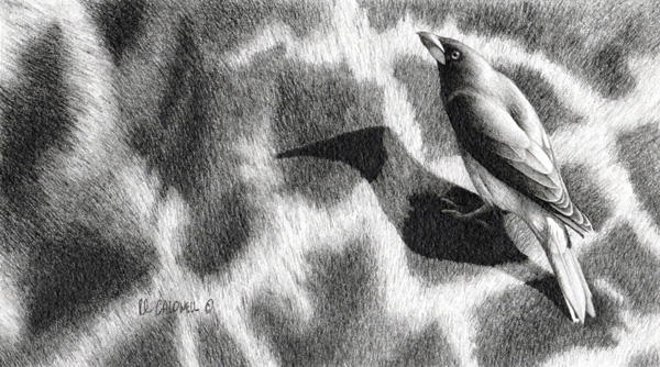Robert Louis Caldwell Tall Pickings (yellow-billed oxpecker), graphite pencil, 5 x 9.