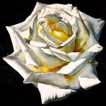 1 White Rose - Yellow Center, watercolor, 20 x 20.