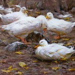 Mitch Baird, Duck Duck Duck Goose, oil, 24 x 30.