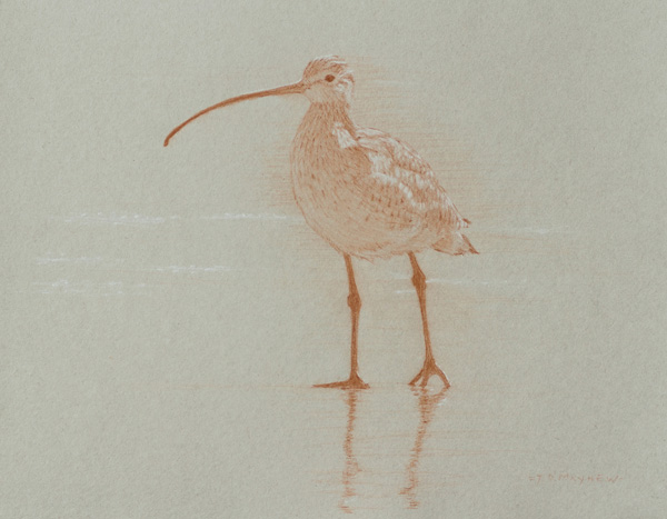 Timothy David Mayhew, Left frontal study of a long-billed curlew, natural red chalk and natural white chalk, 10 x 13.