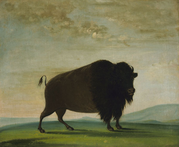 George Catlin, Buffalo Cow Grazing on the Prairie, oil, 24 x 29.