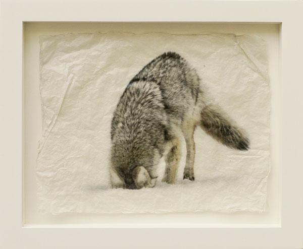 Pete Zaluzec | Coyote, gampi paper/archival ink, 17 x 14.