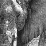 Robert Louis Caldwell, Hekima (African elephant), graphite pencil, 6 x 9.