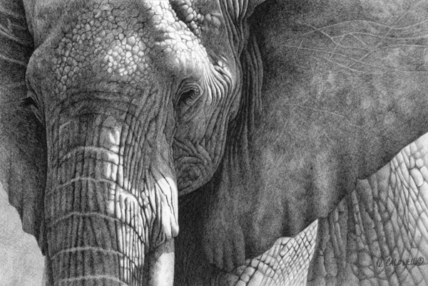 Robert Louis Caldwell, Hekima (African elephant), graphite pencil, 6 x 9.