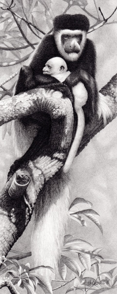 Robert Louis Caldwell, Kutokua Na Hatia (colobus monkey), graphite pencil, 15 x 6.