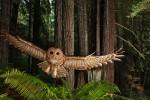 Michael Nichols, Northern Spotted Owl, California, 2009.