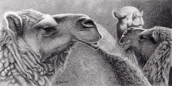 Robert Louis Caldwell, Three Camels (dromedary camel), graphite pencil, 7 x 14.