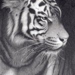 Robert Louis Caldwell, Whiskers (Sumatran tiger), graphite pencil, 9 x 6.