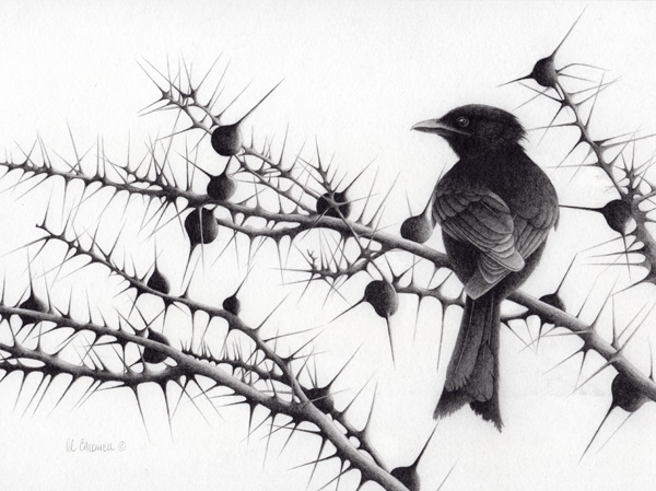 Robert Louis Caldwell, Whistling Fork (fork-tailed drongo), graphite pencil, 9 x 12.