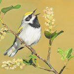 James Fiorentino, Golden-Winged Warbler, watercolor, 22 x 30.