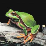 James Fiorentino, Pine Barrens Tree Frog, watercolor, 22 x 30.